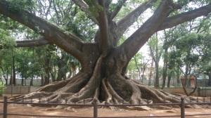 Pokok umur lebih 300 tahun