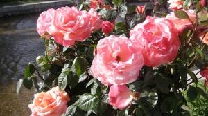 Bunga ros di Shalimar Garden